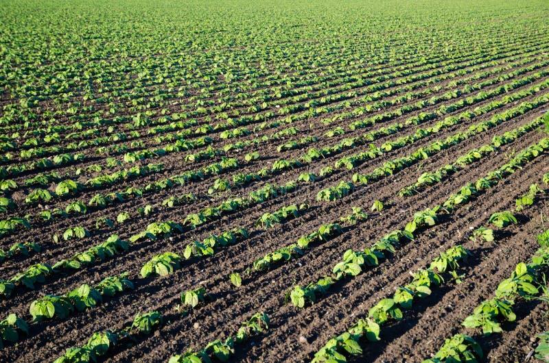 Champ de cultiver les plantes de haricot brunes photos stock
