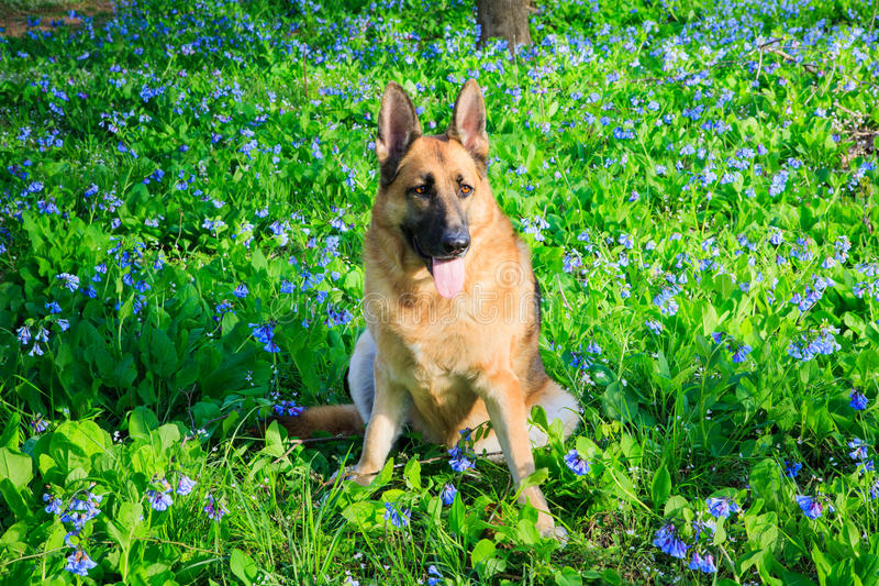 Champ de Dog Bluebell Wildflower de berger allemand images stock