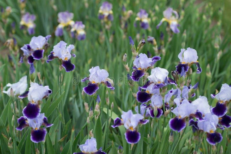 Champ de fleur d'iris photo stock