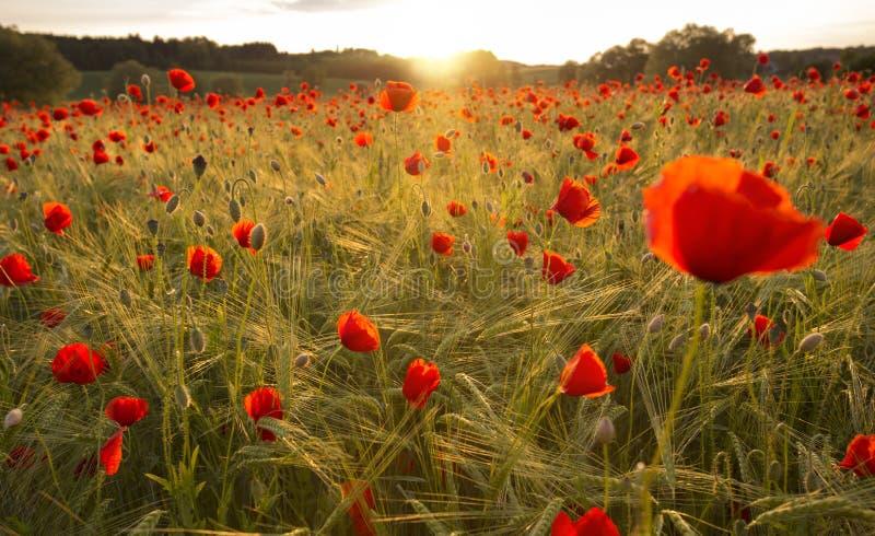 Champ de floraison de pavot dans la lumière chaude de soirée images libres de droits