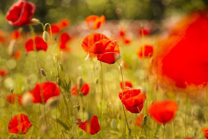 Champ de floraison de pavot dans la lumière chaude de soirée photographie stock