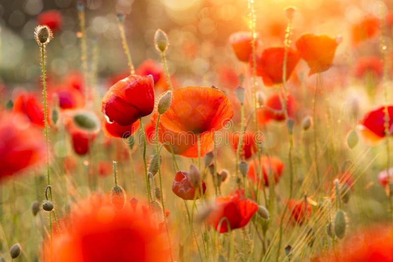 Champ de floraison de pavot dans la lumière chaude de soirée photo stock