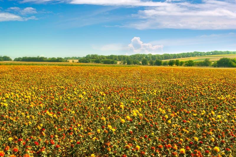 Champ de floraison de safran sauvage Safran américain, chardon de colorant images libres de droits