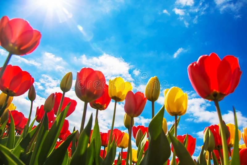 Champ de floraison de tulipe de ressort Fond floral de tulipe de ressort image stock