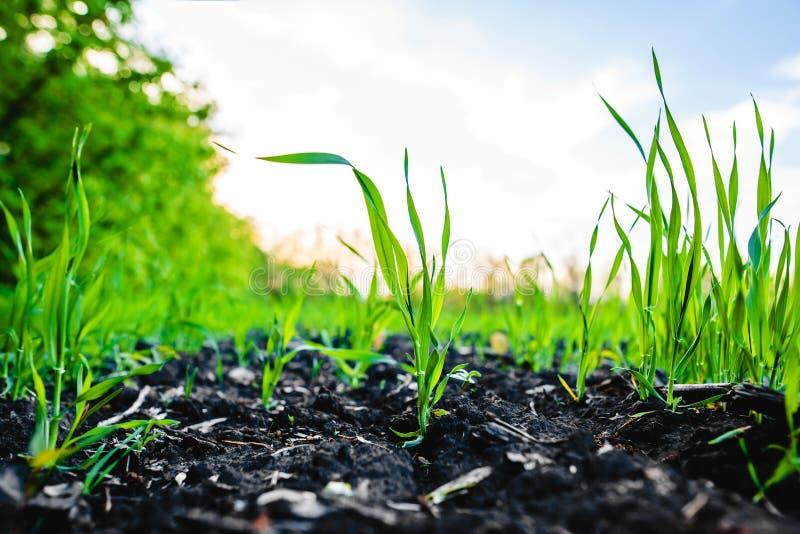 Champ de germination de maïs, maïs images libres de droits