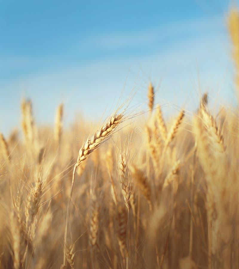 Champ de grain photographie stock libre de droits