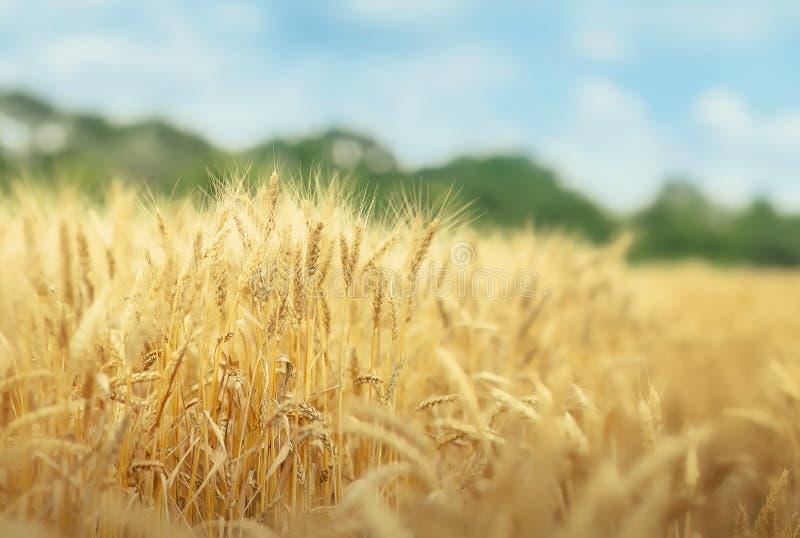 Champ de grain dans le jour d'été photographie stock