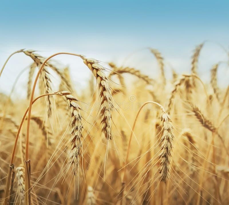 Champ de grain sous le ciel bleu photo stock