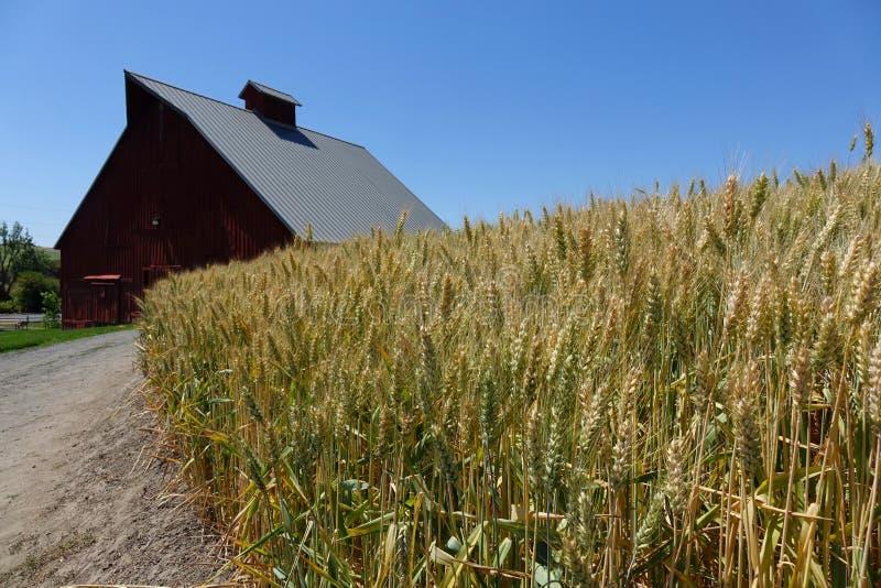 Champ de grange et de blé en Idaho du nord photographie stock