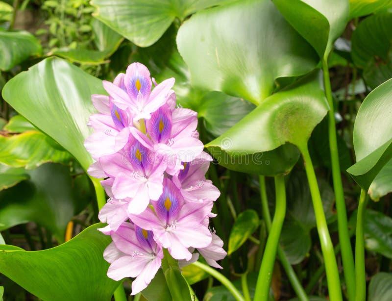 Champ de jacinthe d'eau photo libre de droits