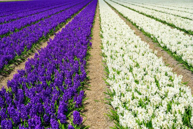 Champ de jacinthe pourpre et blanche en Hollande, fleurs colorées de printemps photographie stock