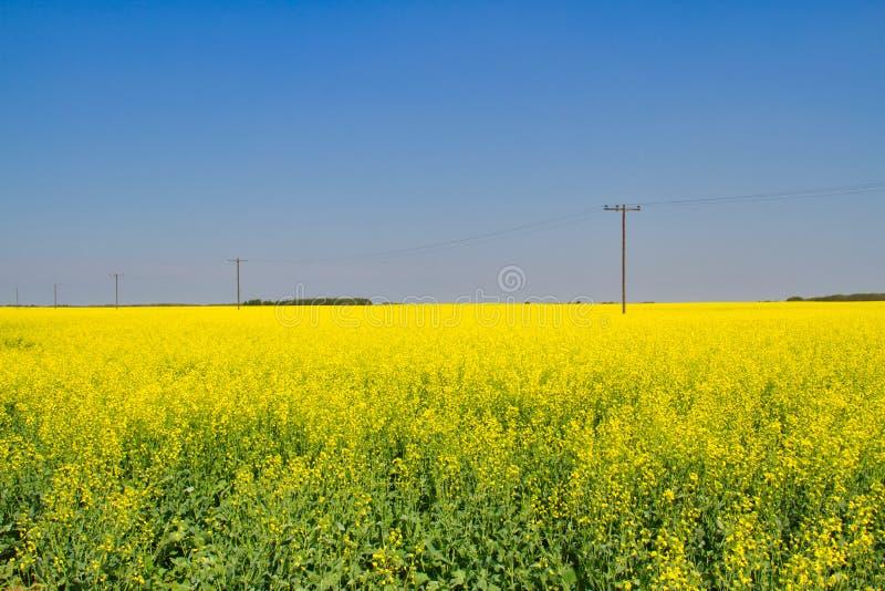 Champ de jaune dans les plaines du Canada photographie stock