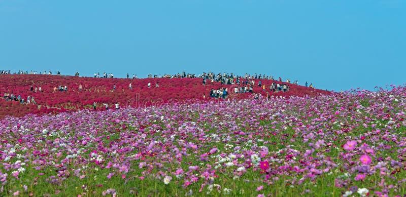 Champ de Kochia et de fleur au parc de bord de la mer de Hitachi images libres de droits