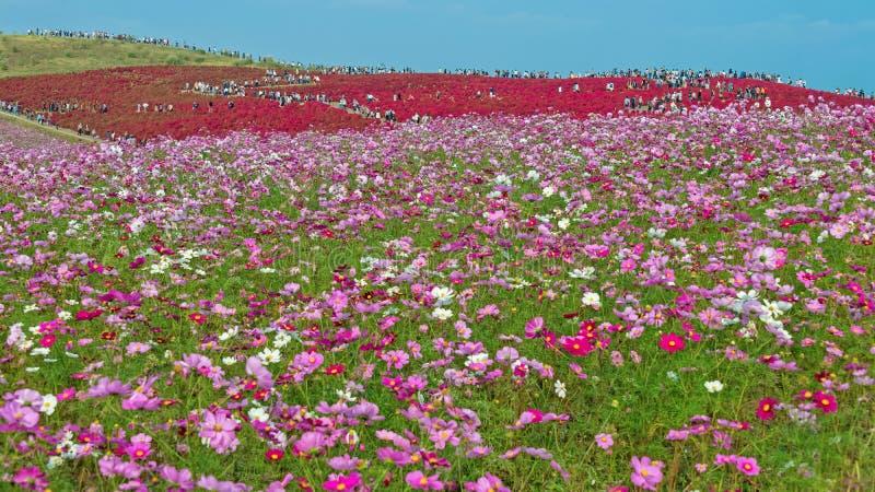 Champ de Kochia et de fleur au parc de bord de la mer de Hitachi photographie stock libre de droits