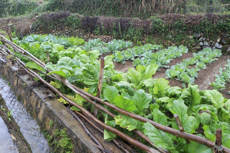 Champ de légumes sous la pluie photographie stock