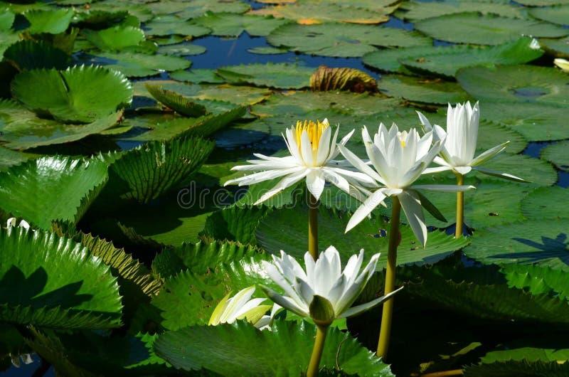 champ de lotus de fleur photo stock