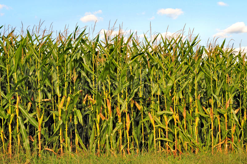 Champ de maïs photo stock