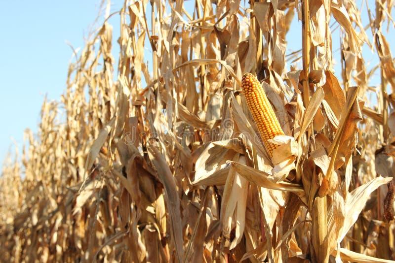 Champ de maïs images libres de droits