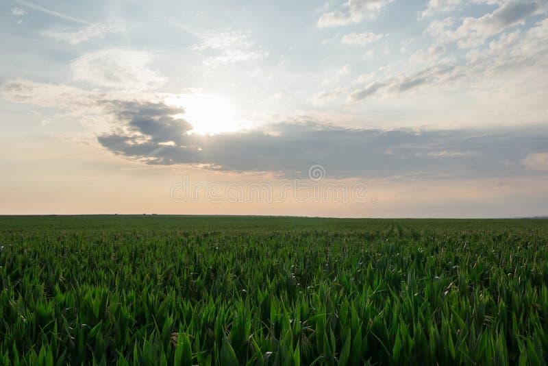 Champ de maïs au lever de soleil, concept d'agriculture, Moravie du sud, République Tchèque photo libre de droits