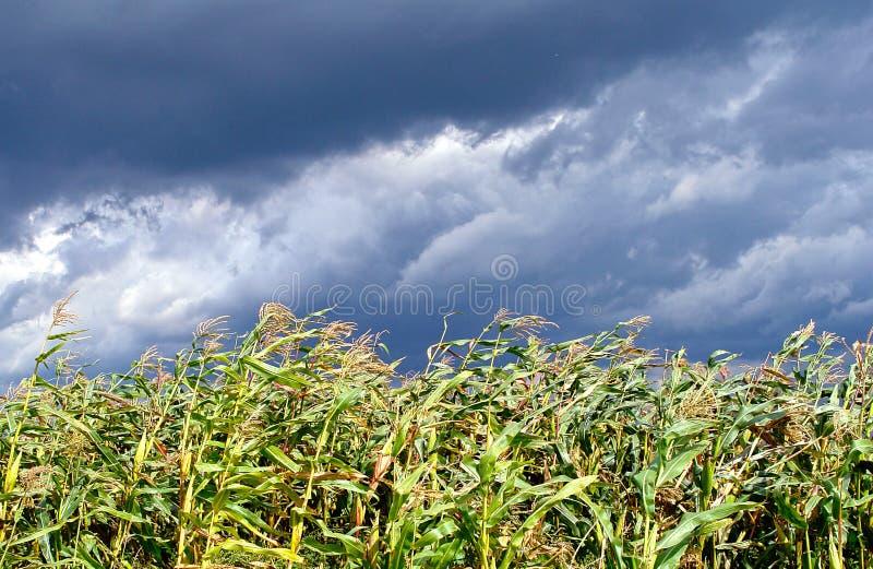 Champ de maïs avant la tempête images libres de droits