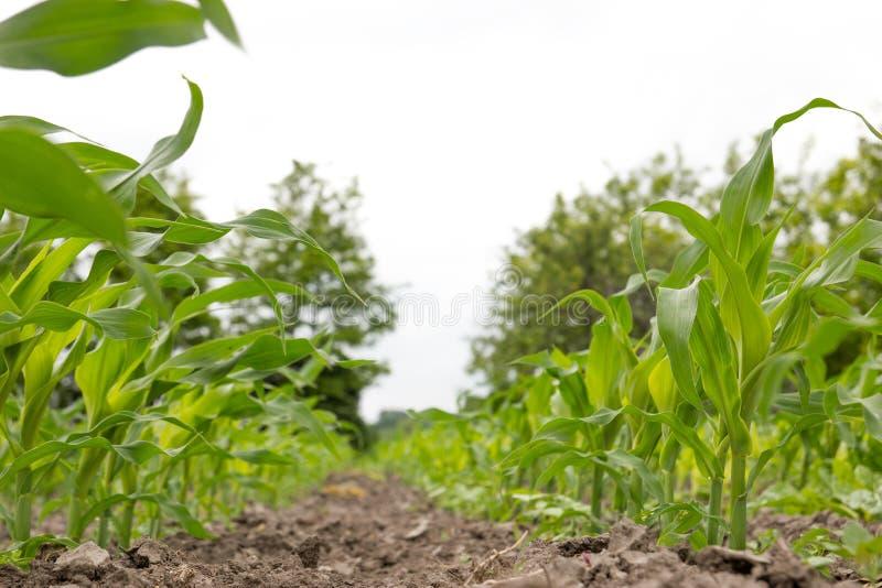 Champ de maïs avec de jeunes usines de maïs de maïs photographie stock
