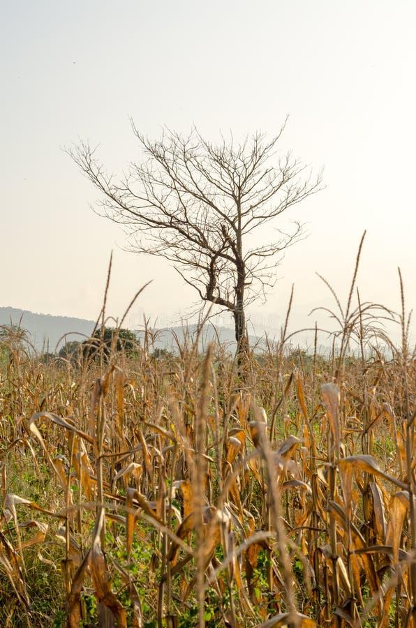 Champ de maïs avec l'arbre sec au coucher du soleil photo stock