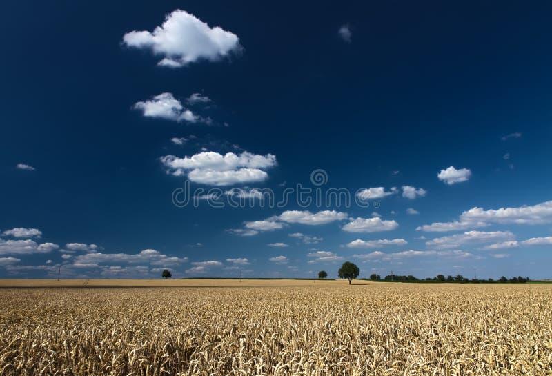 Champ de maïs avec les cieux bleus dans Palatinat photos stock