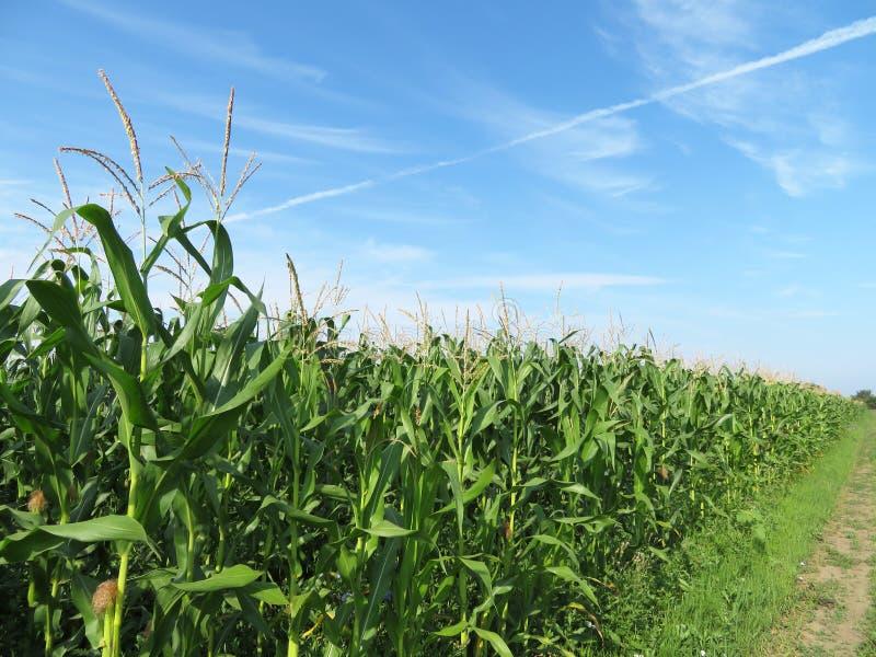 Champ de maïs contre le ciel bleu et les nuages blancs photo stock