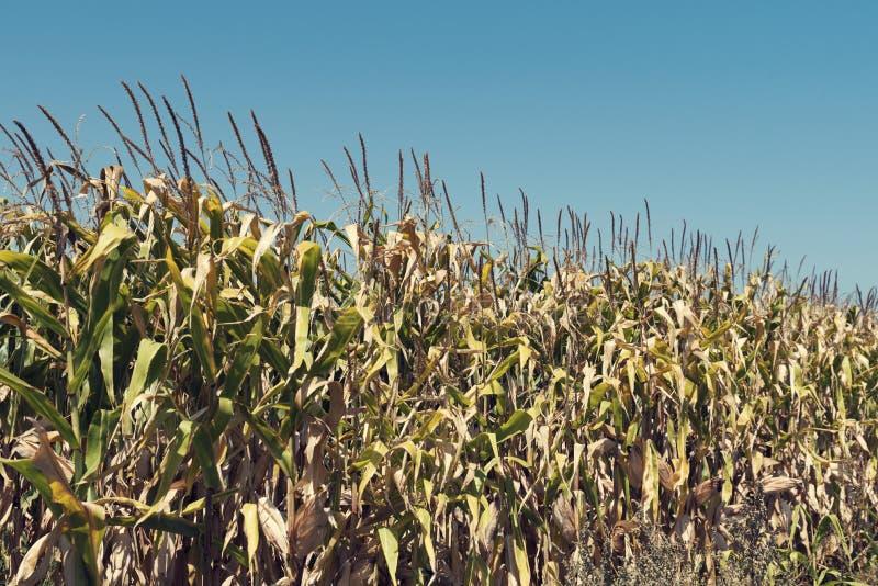 Champ de maïs dans la fin d'été avec le maïs mûr photos libres de droits