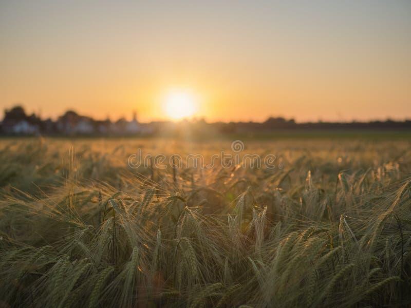 Champ de maïs dans le coucher du soleil et village à l'arrière-plan photo libre de droits