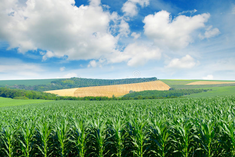 Champ de maïs dans les collines pittoresques et les nuages blancs photographie stock libre de droits