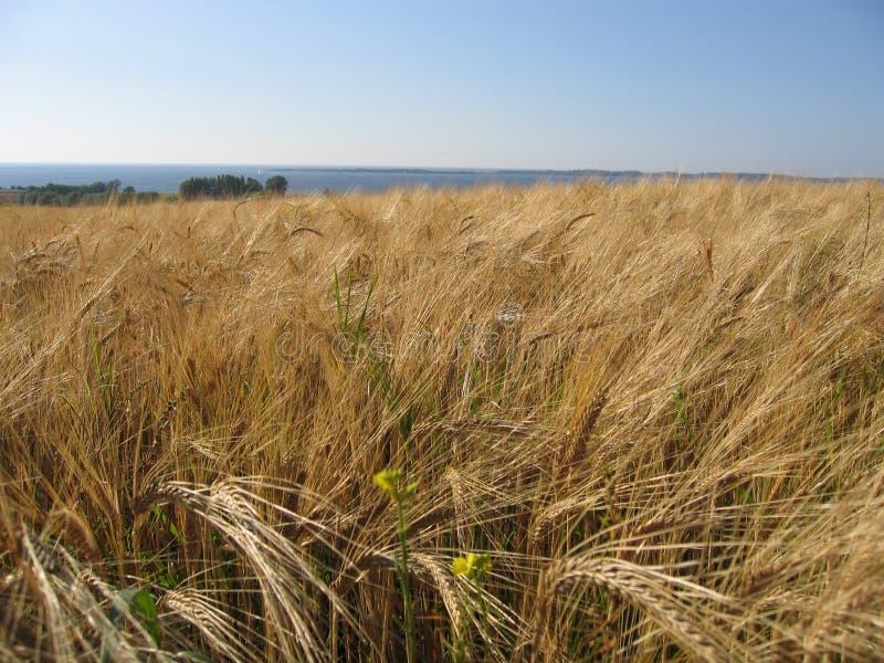 Champ de maïs de blé
