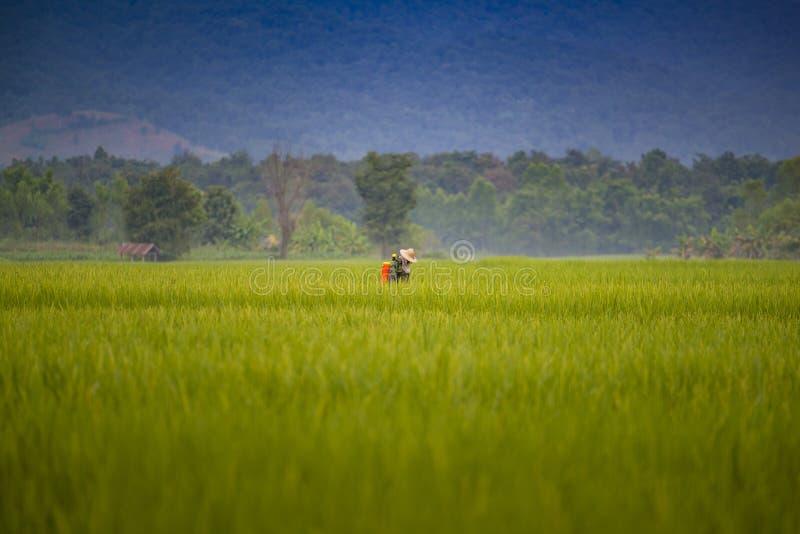 Champ de maïs de jeunes plantes de riz de vert de belle vue photo stock