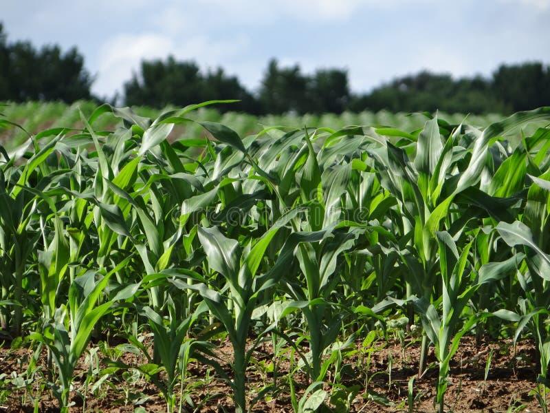 Champ de maïs de ressort au Tennessee photographie stock