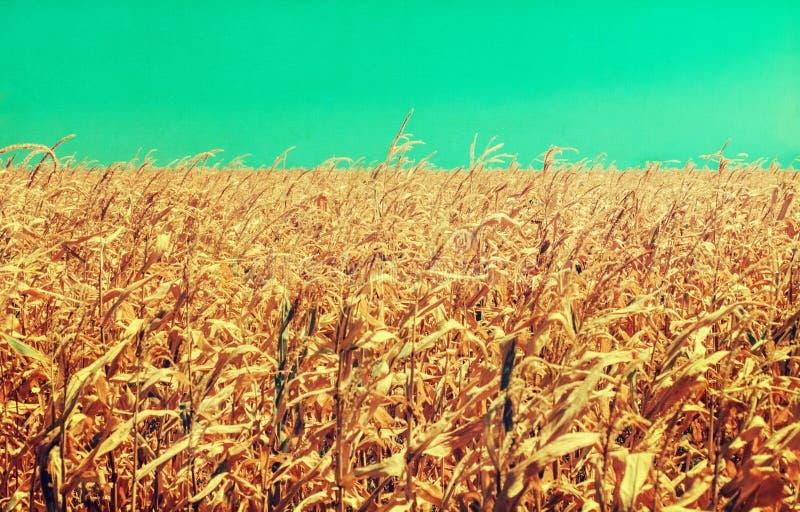 Champ de maïs endommagé par sécheresse : Les cornstalks mal développés montrent les effets du temps chaud et sec prolongé photos stock