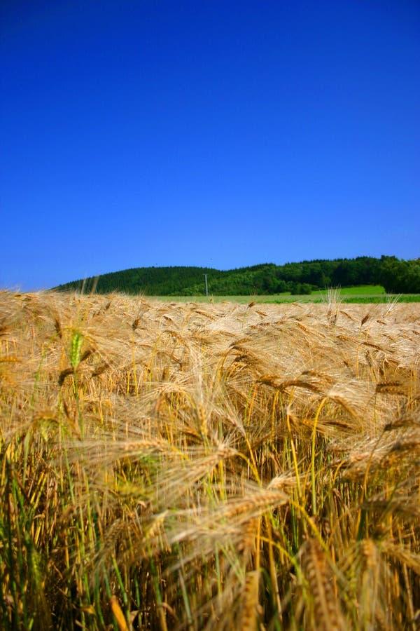 Champ de maïs et ciel bleu