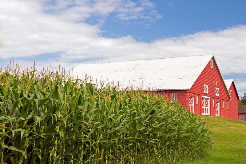 Champ de maïs et grange rouge images libres de droits