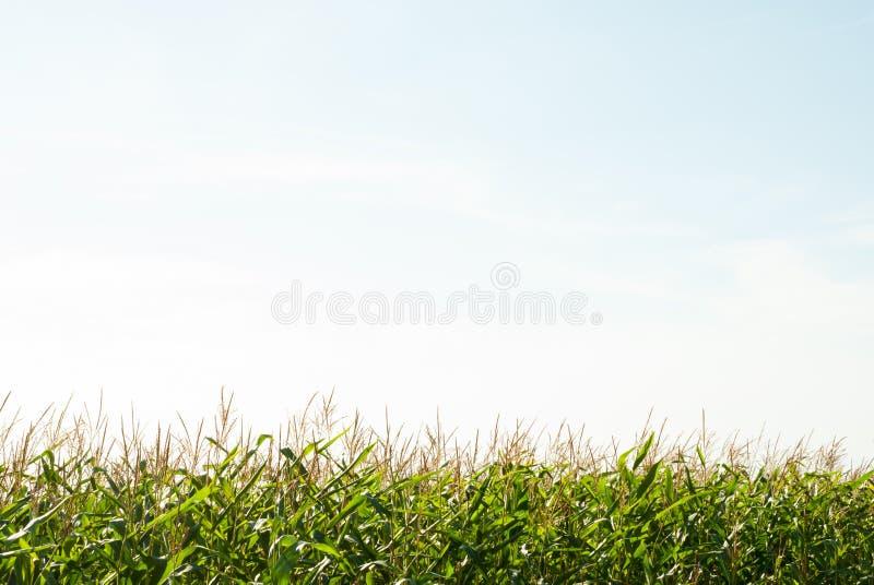 Champ de maïs et le ciel pendant le jour d'été photo libre de droits