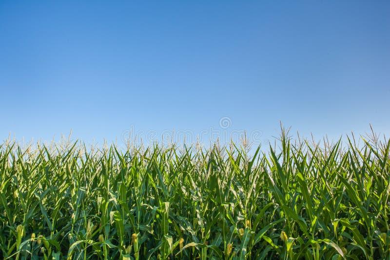 Champ de maïs sous le ciel bleu photos libres de droits