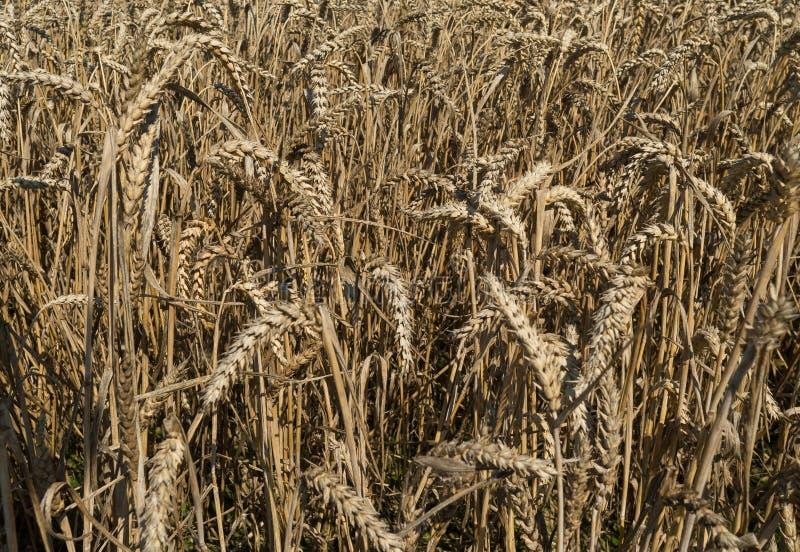 Champ de maïs, triticum images stock