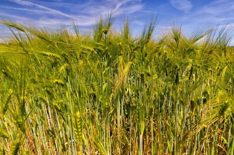 Champ de maïs vert, Hordeum photographie stock