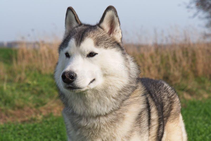 Champ de marche enroué sibérien d'automne de race de chien photos stock