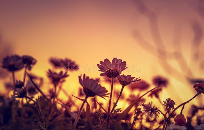 Champ de marguerite sur le coucher du soleil photo libre de droits