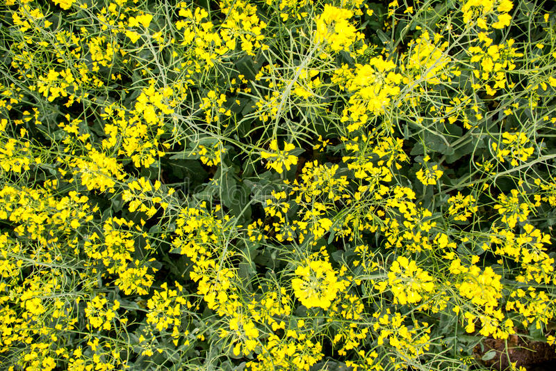 Champ de moutarde fleurissant avant récolte photographie stock