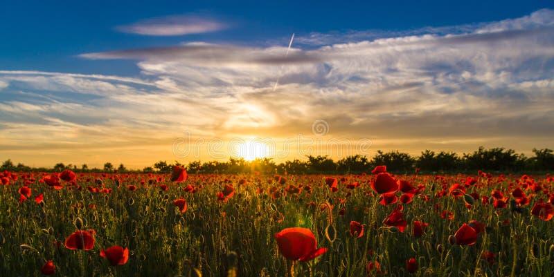 Champ de pavot au coucher du soleil - 2 photographie stock libre de droits