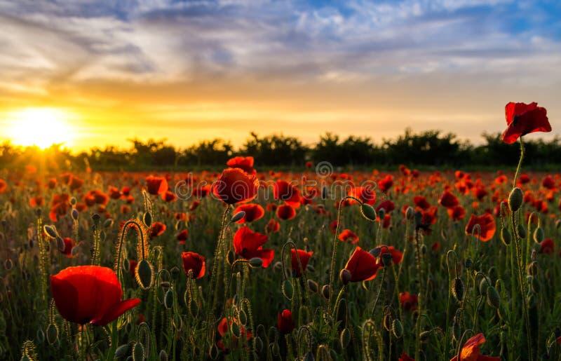 Champ de pavot au coucher du soleil - 3 photographie stock libre de droits