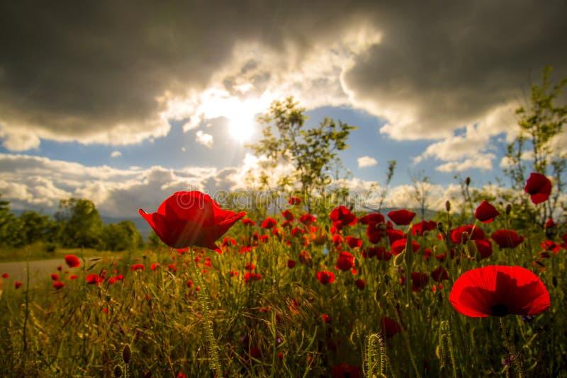 Champ de pavot d'été sous le ciel de coucher du soleil photographie stock