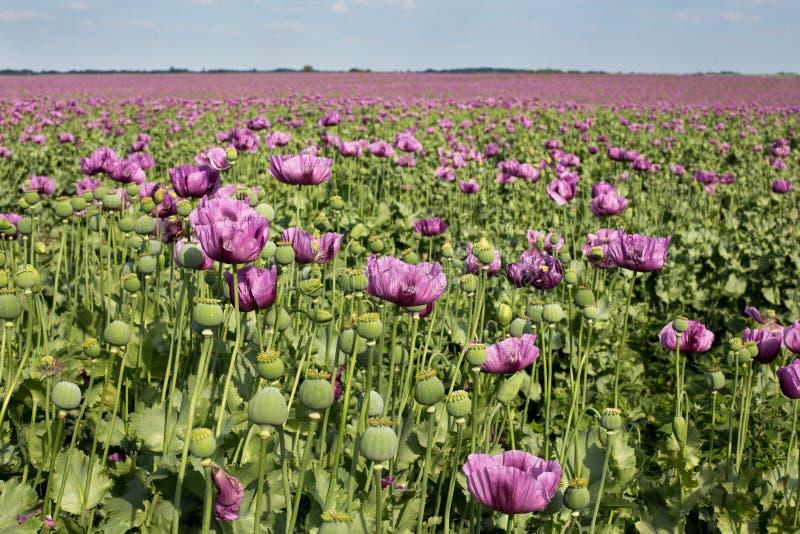 Champ de pavot ? opium photographie stock