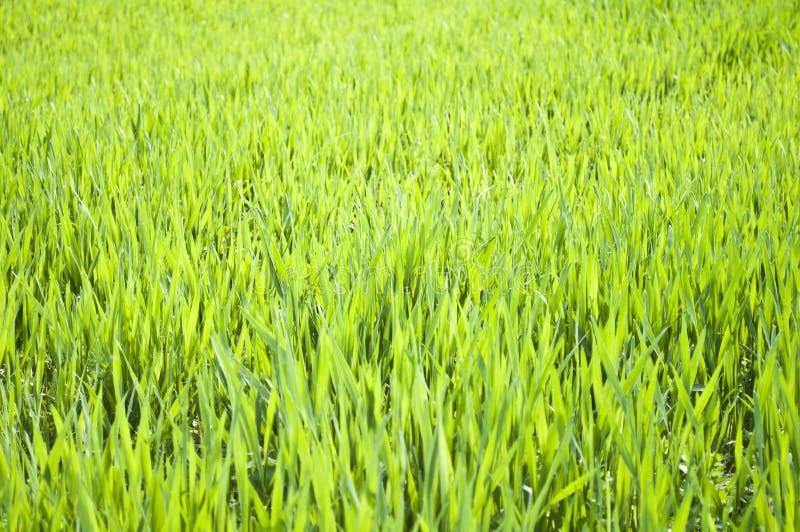 Champ de plan rapproché vert d'herbe de blé photo libre de droits