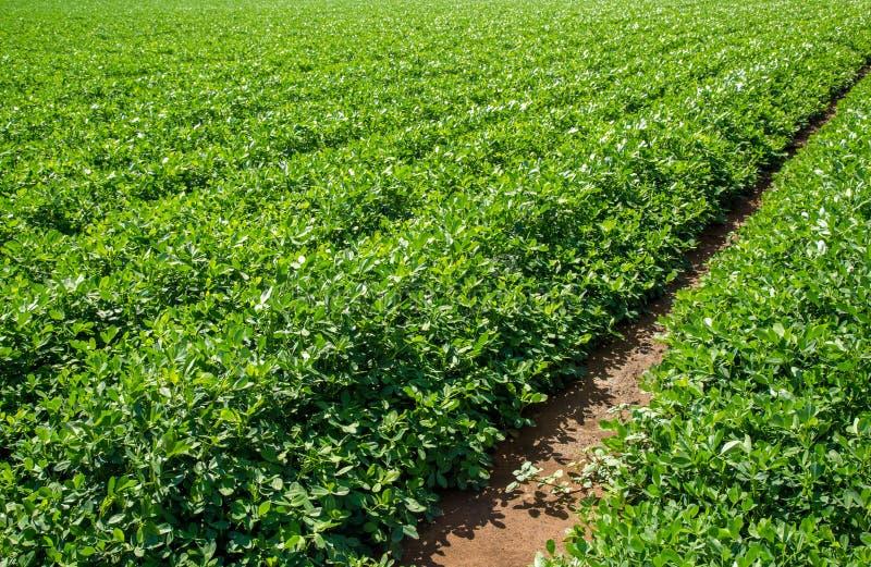 Champ de plantation d'arachide image libre de droits